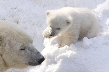 Ours polaire avec ourson sur la neige. La maman ours polaire apprend à l'enfant à grogner.