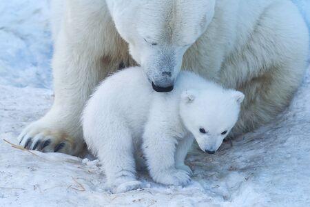 Polar bear with cub on snow. Polar bear mom teaches the kid to growl. Stock Photo