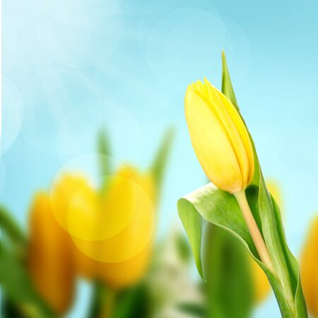 Yellow tulip on blue background Stock Photo