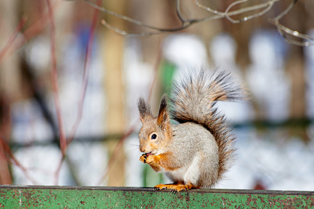 Little squirrel eating a nut photo