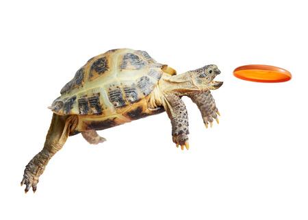 亀はジャンプし、フライング ディスクをキャッチ