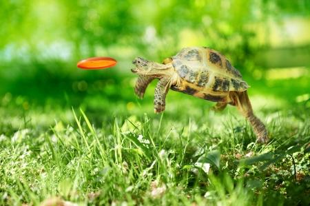 állatok: Turtle ugrik és elkapja a repülő korong Stock fotó