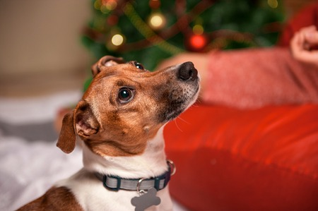 Jack Russell dog at the Christmas and New Year Background
