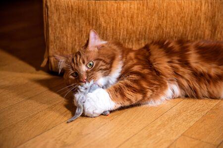 A photo of Kurilian bobtail cat