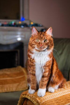 A photo of Kurilian bobtail cat in his house