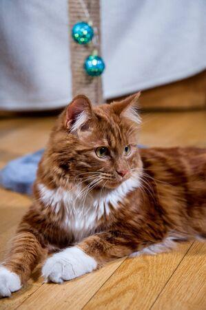 A photo of Kurilian bobtail cat on wooden floor Standard-Bild