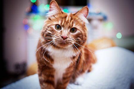 A photo of Kurilian bobtail cat on blurred christmas background
