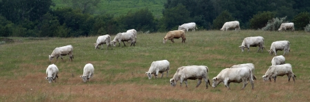 On a green meadow herd of beef cows Stock Photo - 16688412