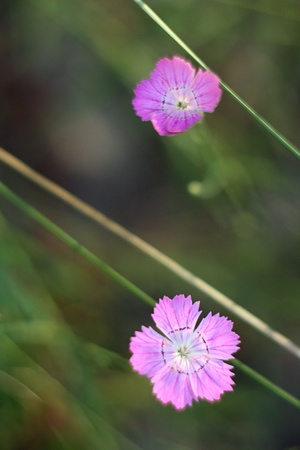 Two beautiful flower in the grass vessenih photo