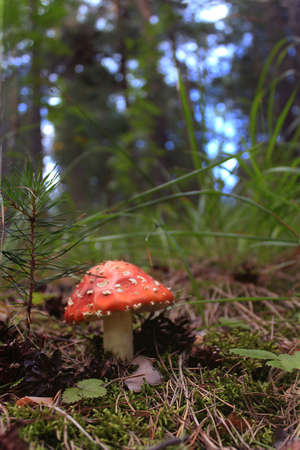 pinery: mushroom in the forest