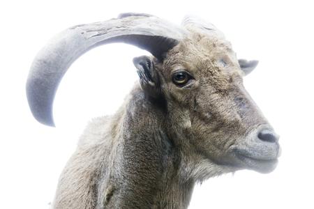cabra montes: cabra mont�s lado