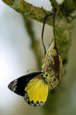 metamorfosis: la metamorfosis, mariposa reci�n nacida vino hacia fuera de su capullo
