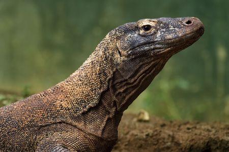 komodo: komodo dragon sunbathing on wilderness