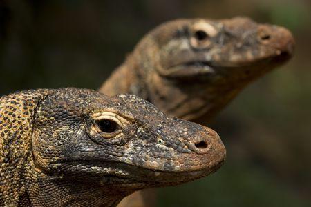 twin komodo dragon sunbathing on wilderness Stock Photo - 1920509