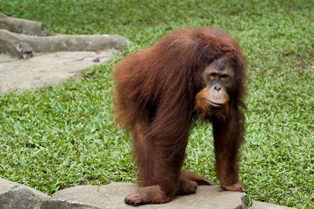 anthropoid: orangutan primate posing in front camera
