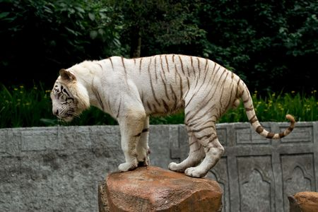 albino: white bengal tiger on top of rock