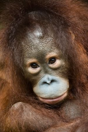 close up photo of endangered species orangutan photo