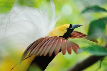 bird of paradise dancing