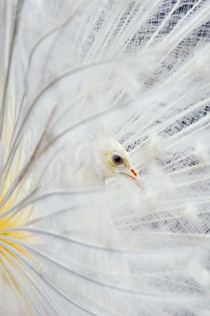 albino: white peacock side view