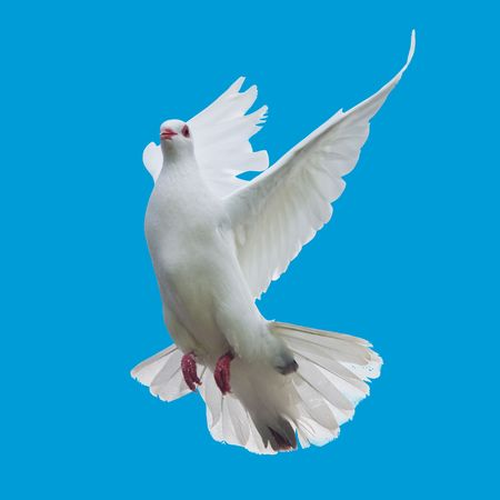 dove flying: white dove flying isolated Stock Photo