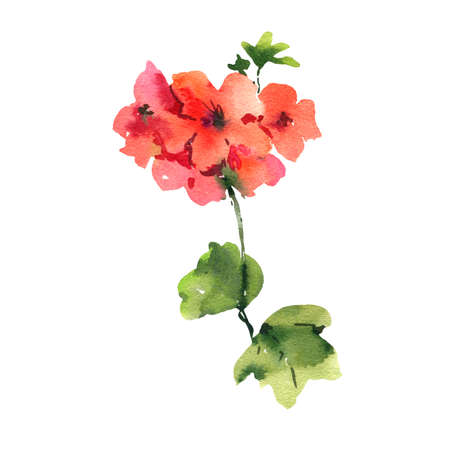 Flower Geranium, Pelargonium, Red Flowers, Natural Isolated Illustration, Spring Summer Greeting Card