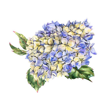 Watercolor blue blooming hydrangea, leaves, buds. Natural botanical floral collection isolated on white background, Summer Flowers Stock Photo