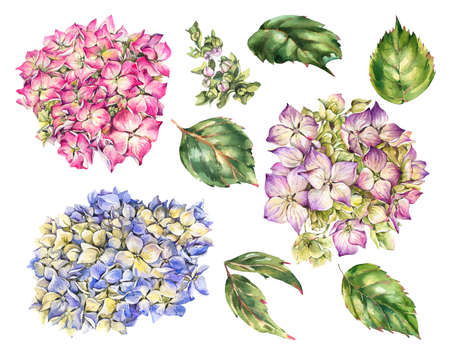 Watercolor summer set of pink and blue flowers hydrangea, leaves, buds. Natural botanical floral collection isolated on white background Stock Photo