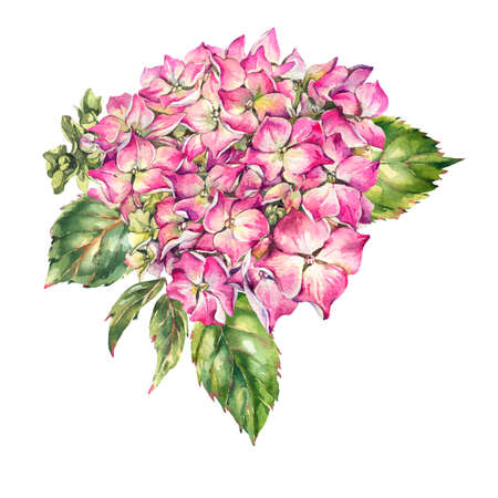 Watercolor pink blooming hydrangea, leaves, buds. Natural botanical floral collection isolated on white background, Summer Flowers