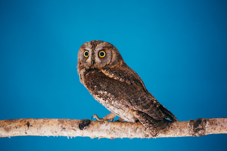 Eurasian scops owl in studio with blue background. Stockfoto