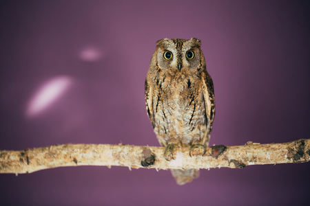 Eurasian scops owl in studio with purple background.