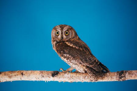 Eurasian scops owl in studio with blue background. Фото со стока