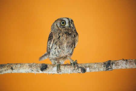 Eurasian scops owl in studio with orange background.