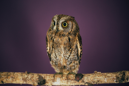 Eurasian scops owl in studio with purple background.