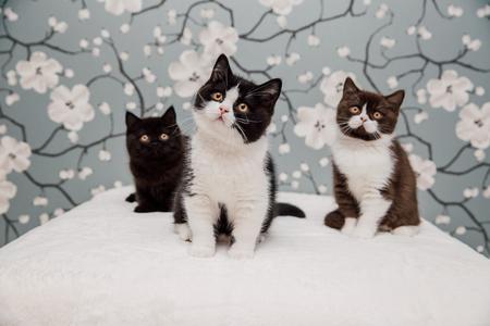 Beautiful British Shorthair kittens posing for the camera gainst flower background.