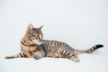 Beautiful tabby cat posing for the camera. Licking it's nose and fur and makes funny faces.