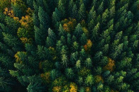Aerial view of autumn colorful tree tops and pines.