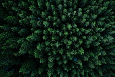 Pine tree tops seen from a drone Stock fotó