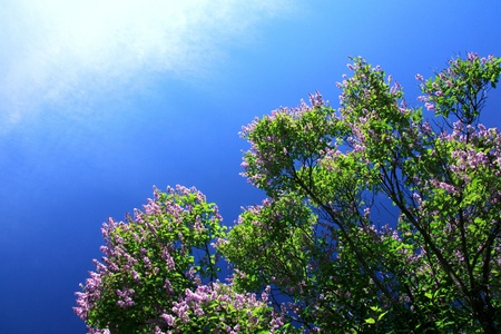 Purple lilac bush in early summer against the blue sky