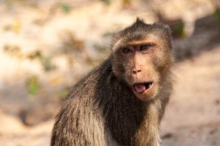 Portrait of a small brown monkey closeup. Kanchanaburi Thailand