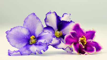 photography background: violets flowers close up - macro photography background Stock Photo