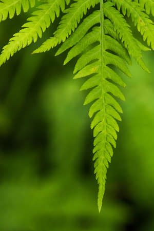 Fern leaf in the forest - green nature background - close-up Stock Photo