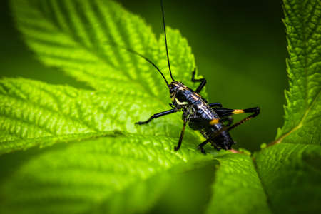 grasshoppers: An Image of Black Grasshoppers - macro Grasshopper on the leaf Stock Photo