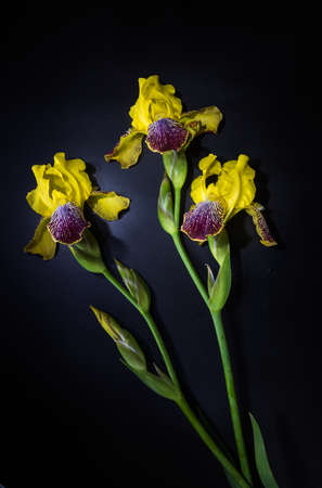 yellow iris flower on the black background