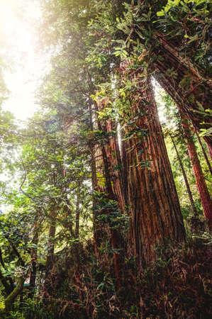 muir: Redwoods in California - Shots of Muir woods park Stock Photo