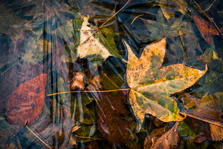 decompose: frozen autumn leaves in water - natural background Stock Photo