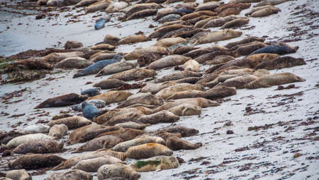 wadden: Seal lions lying on the beach in Monterey, California