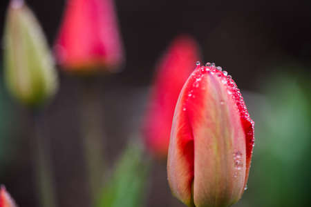 A pink tulips flowers with water drops on the edge