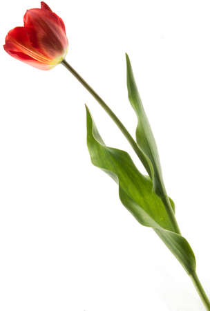 Single red color tulip isolated on white background