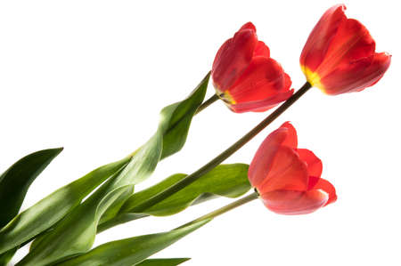 Set of three red color tulips isolated on white background