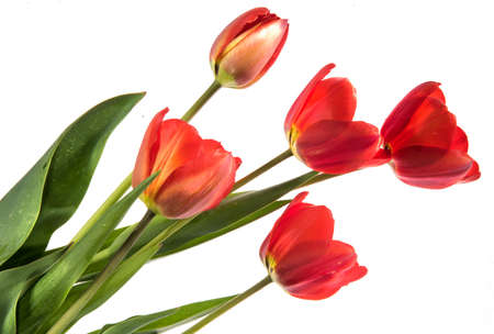 Set of five red color tulips isolated on white background